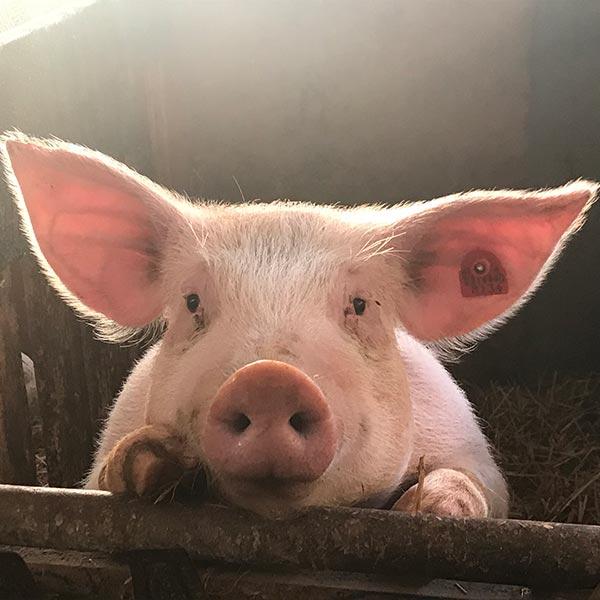 Vadis leverancier van varkensvoeders in de regio Oudenaarde