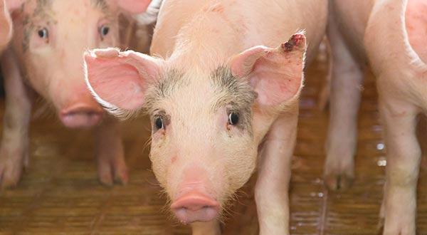 groot gamma aan rundvee- en varkensvoerders